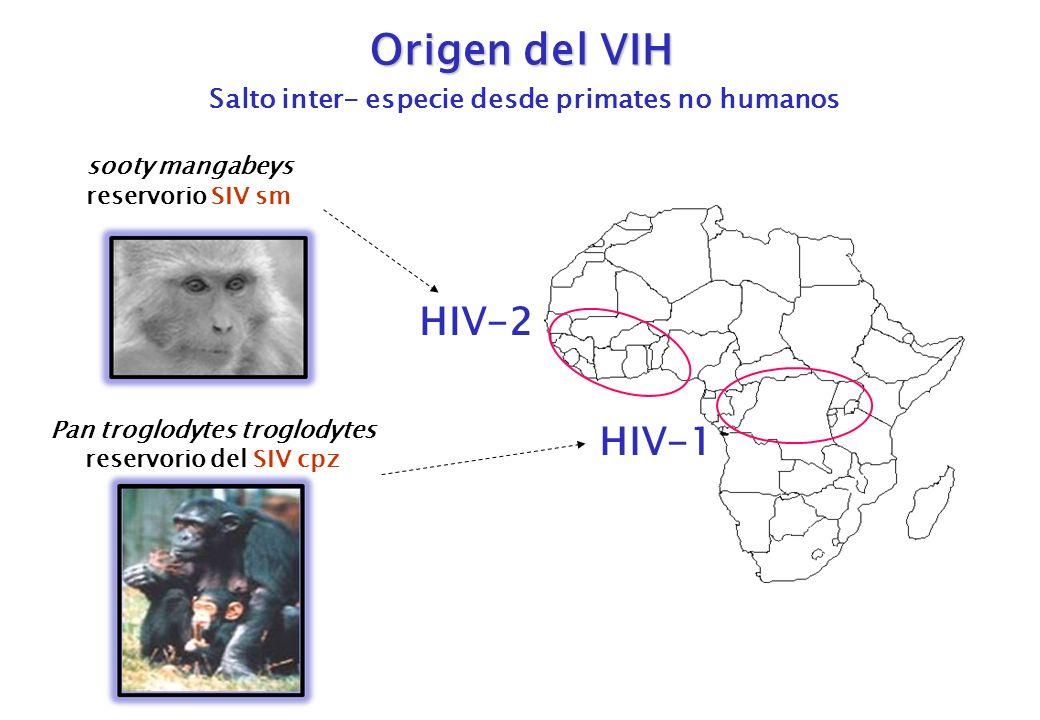 Origen del VIH Salto inter- especie desde primates no humanos HIV-2 sooty mangabeys reservorio SIV sm Pan troglodytes troglodytes reservorio del SIV c