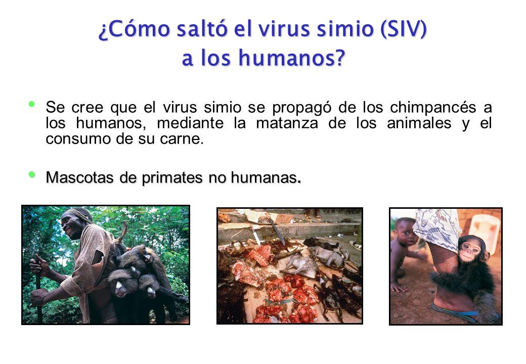¿Cómo saltó el virus simio (SIV) a los humanos? Se cree que el virus simio se propagó de los chimpancés a los humanos, mediante la matanza de los anim