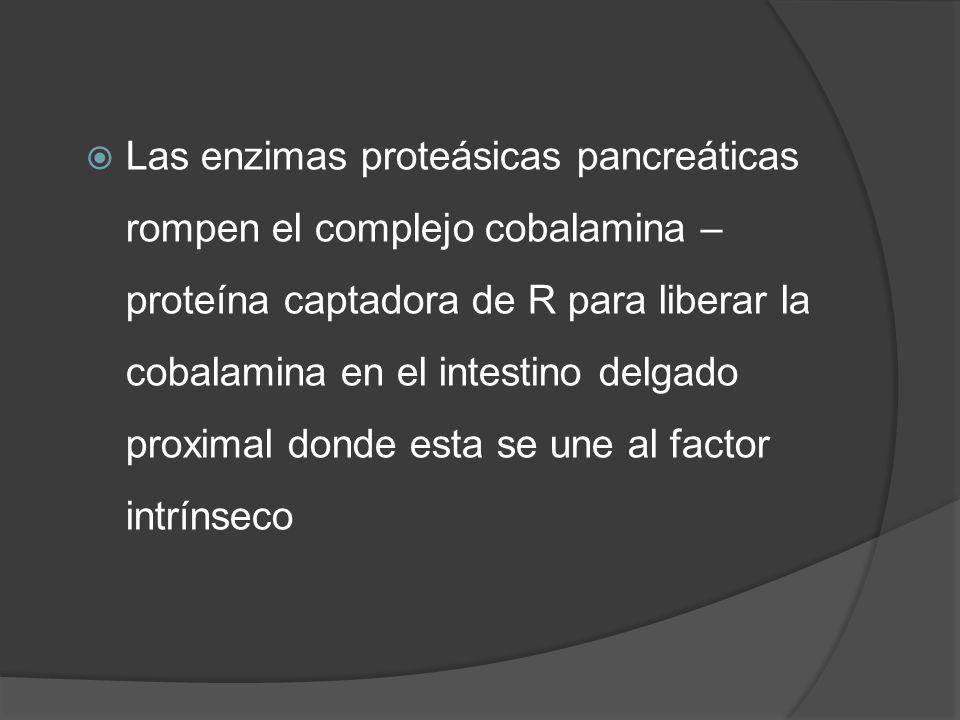 Las enzimas proteásicas pancreáticas rompen el complejo cobalamina – proteína captadora de R para liberar la cobalamina en el intestino delgado proxim