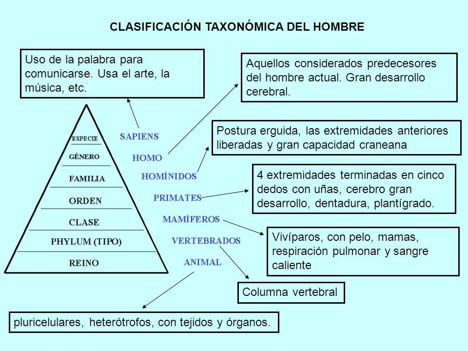 CLASIFICACIÓN TAXONÓMICA DEL HOMBRE Columna vertebral Vivíparos, con pelo, mamas, respiración pulmonar y sangre caliente pluricelulares, heterótrofos,
