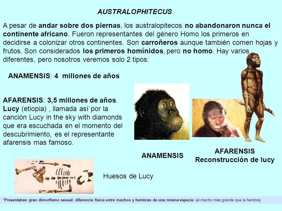 AUSTRALOPHITECUS *Presentaban gran dimorfismo sexual: diferencia física entre machos y hembras de una misma especie (el macho más grande que la hembra