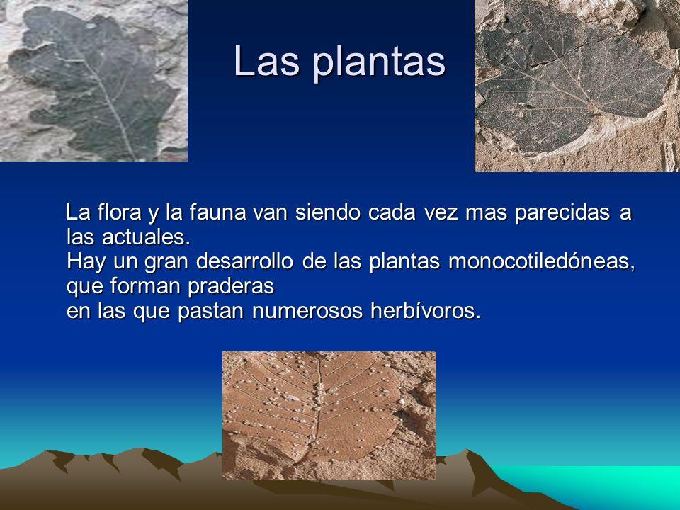 Las plantas La flora y la fauna van siendo cada vez mas parecidas a las actuales. Hay un gran desarrollo de las plantas monocotiledóneas, que forman p