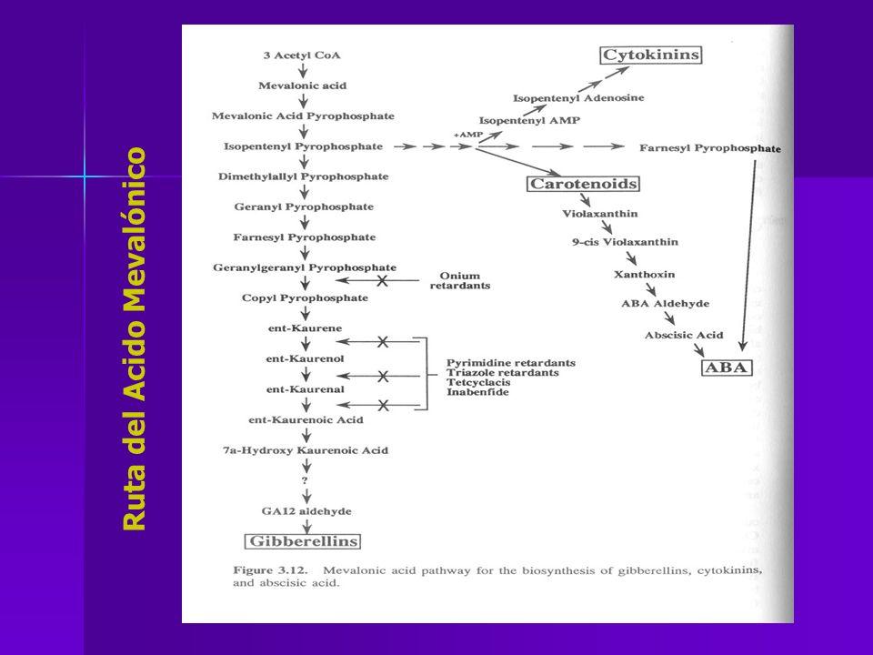Ruta del Acido Mevalónico