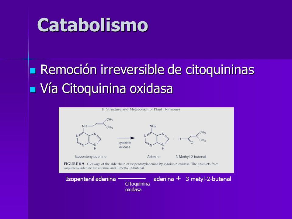 Catabolismo Remoción irreversible de citoquininas Remoción irreversible de citoquininas Vía Citoquinina oxidasa Vía Citoquinina oxidasa Isopentenil ad