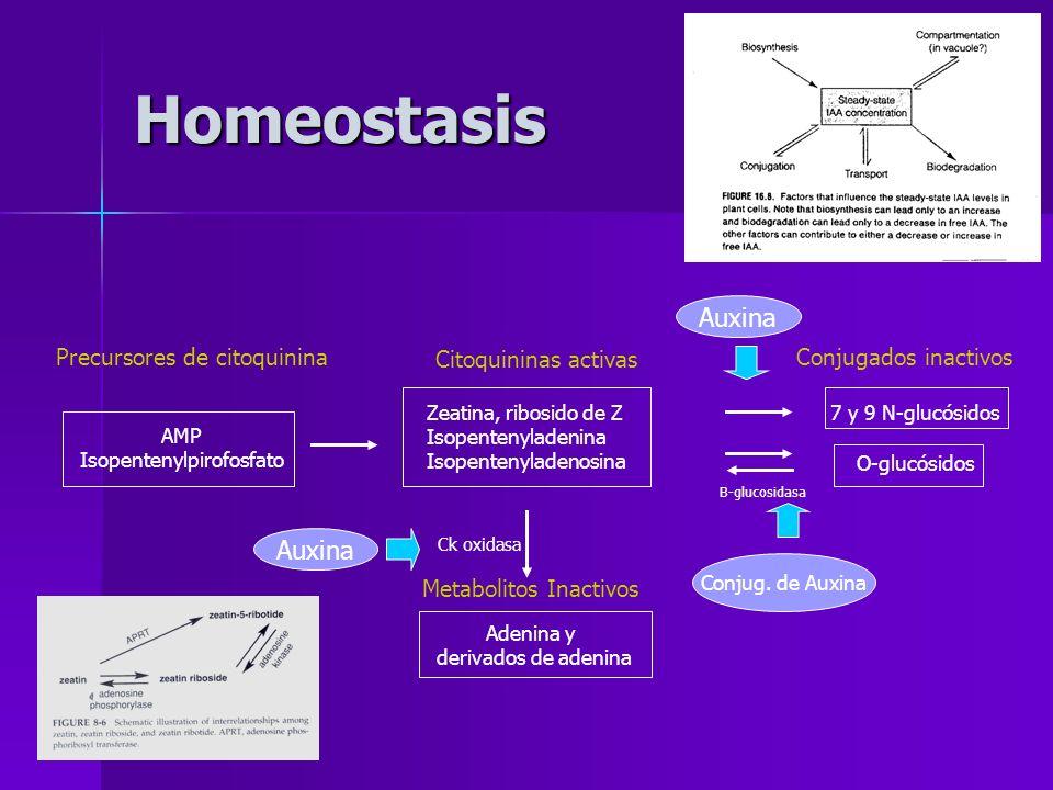 Homeostasis Auxina Conjug. de Auxina Metabolitos Inactivos Adenina y derivados de adenina Ck oxidasa Precursores de citoquinina AMP Isopentenylpirofos