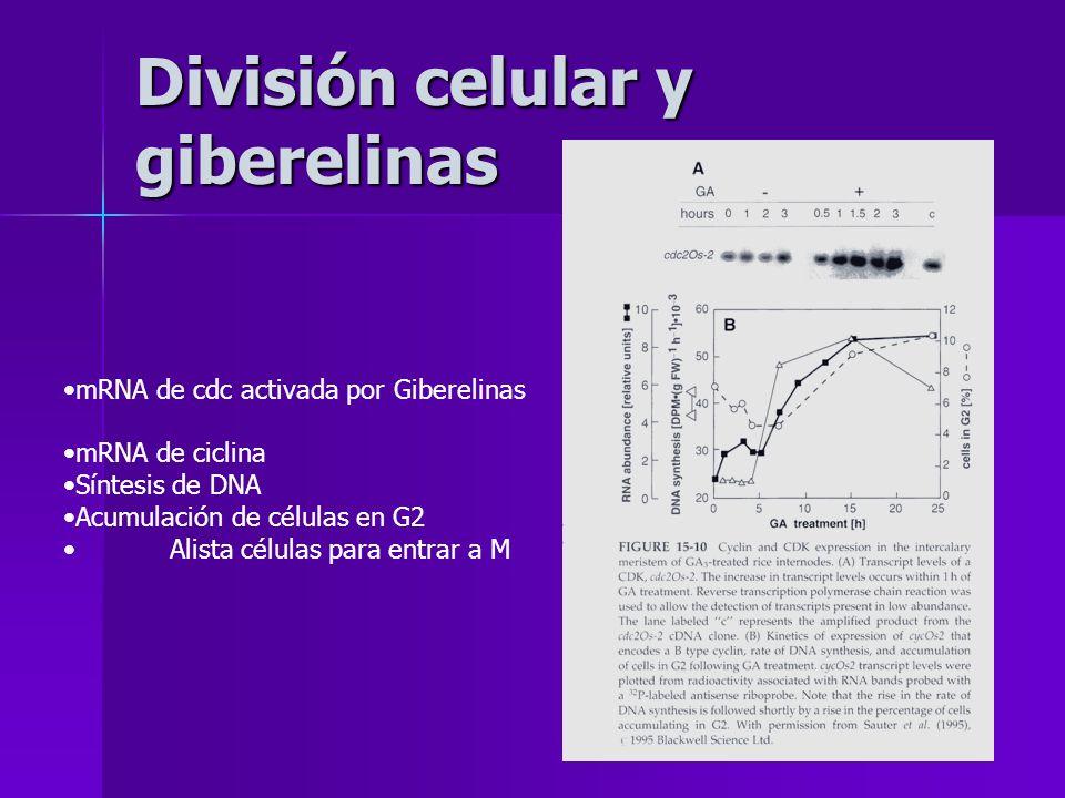 División celular y giberelinas mRNA de cdc activada por Giberelinas mRNA de ciclina Síntesis de DNA Acumulación de células en G2 Alista células para e
