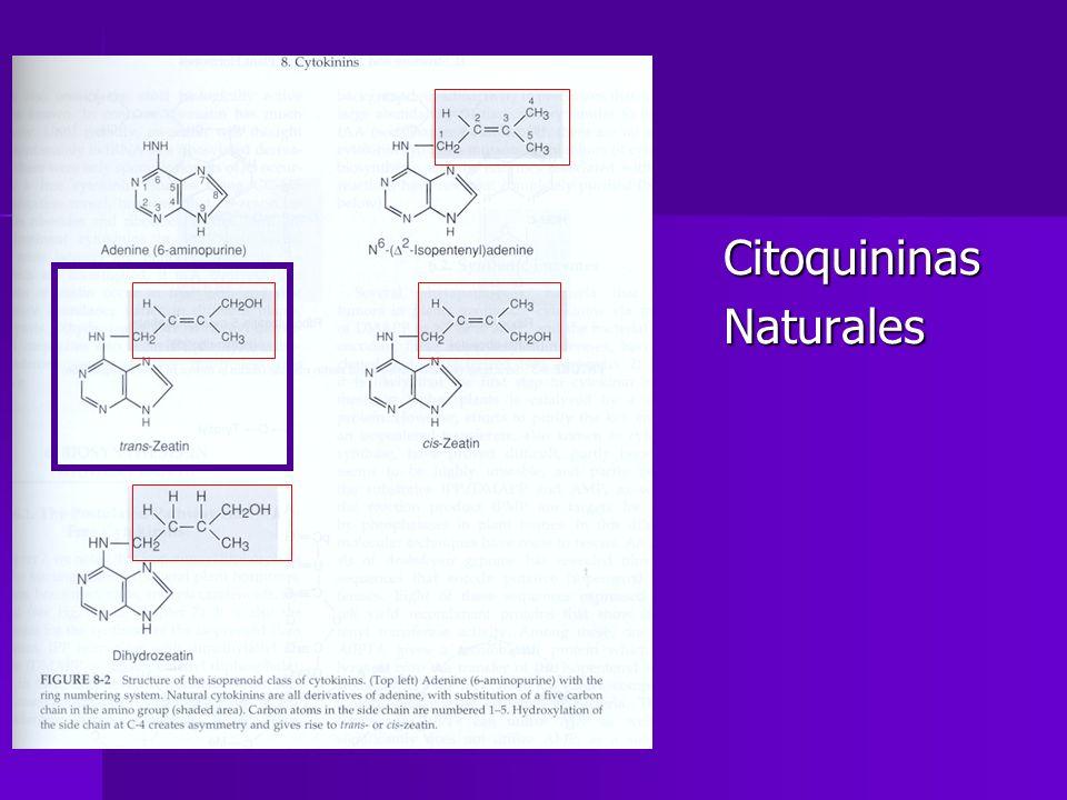 Conjugación Combinación reversible de citoquininas con diferentes compuestos y se usan en momentos específicos Combinación reversible de citoquininas con diferentes compuestos y se usan en momentos específicos Se almacenan en vacuolas y/o ret.