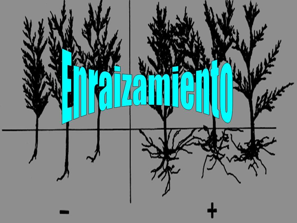 Presentación de hormonas AIB o ANA AIB o ANA Presentaciones: Polvo, líquida o pura Presentaciones: Polvo, líquida o pura Pura Pura Difícil de preparar (disolución) Difícil de preparar (disolución) Polvo: Hormodin, Hormo-Root, Rootone Polvo: Hormodin, Hormo-Root, Rootone Diferentes concentraciones Diferentes concentraciones Usadas en plantas no leñosas o leñosas de fácil enraizamiento Usadas en plantas no leñosas o leñosas de fácil enraizamiento Líquida: C-mone, Dip N Grow, Wood s Rooting Comp.