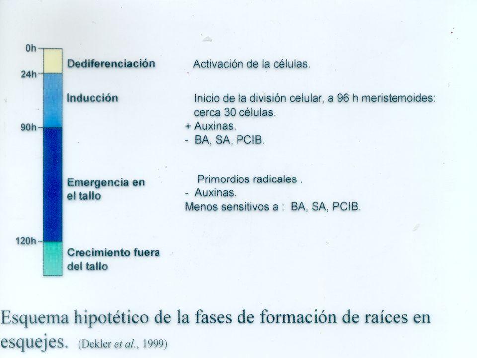 Efecto de antagonistas de auxinas (BA) Efecto de antagonistas de auxinas (BA) BA inhibe y no daña.