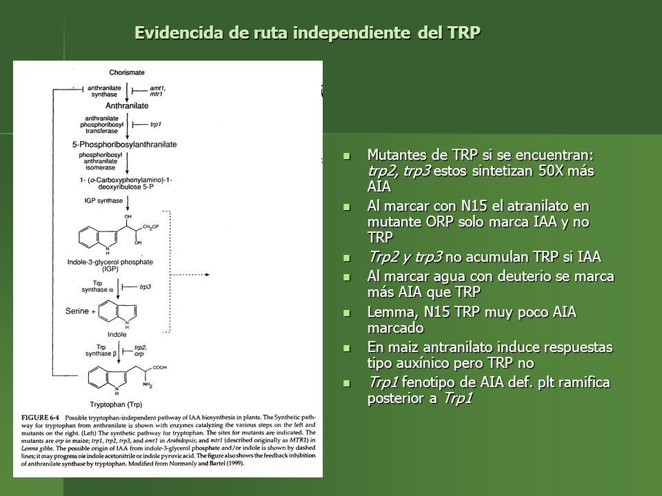 Mutantes de TRP si se encuentran: trp2, trp3 estos sintetizan 50X más AIA Mutantes de TRP si se encuentran: trp2, trp3 estos sintetizan 50X más AIA Al
