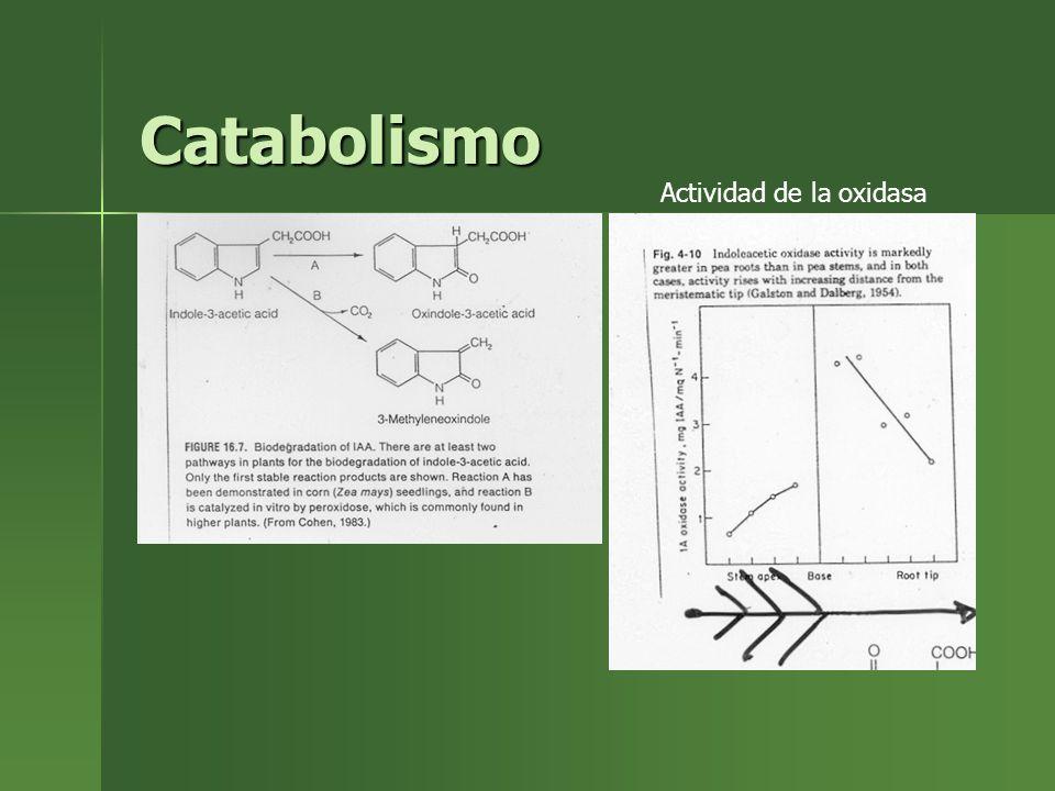 Catabolismo Actividad de la oxidasa