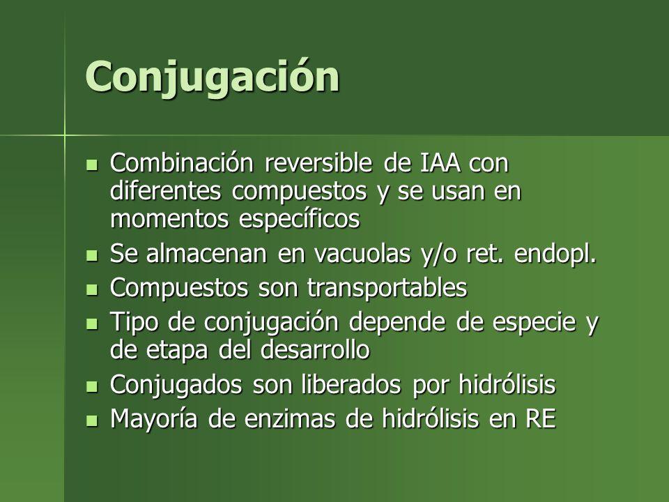 Conjugación Combinación reversible de IAA con diferentes compuestos y se usan en momentos específicos Combinación reversible de IAA con diferentes com