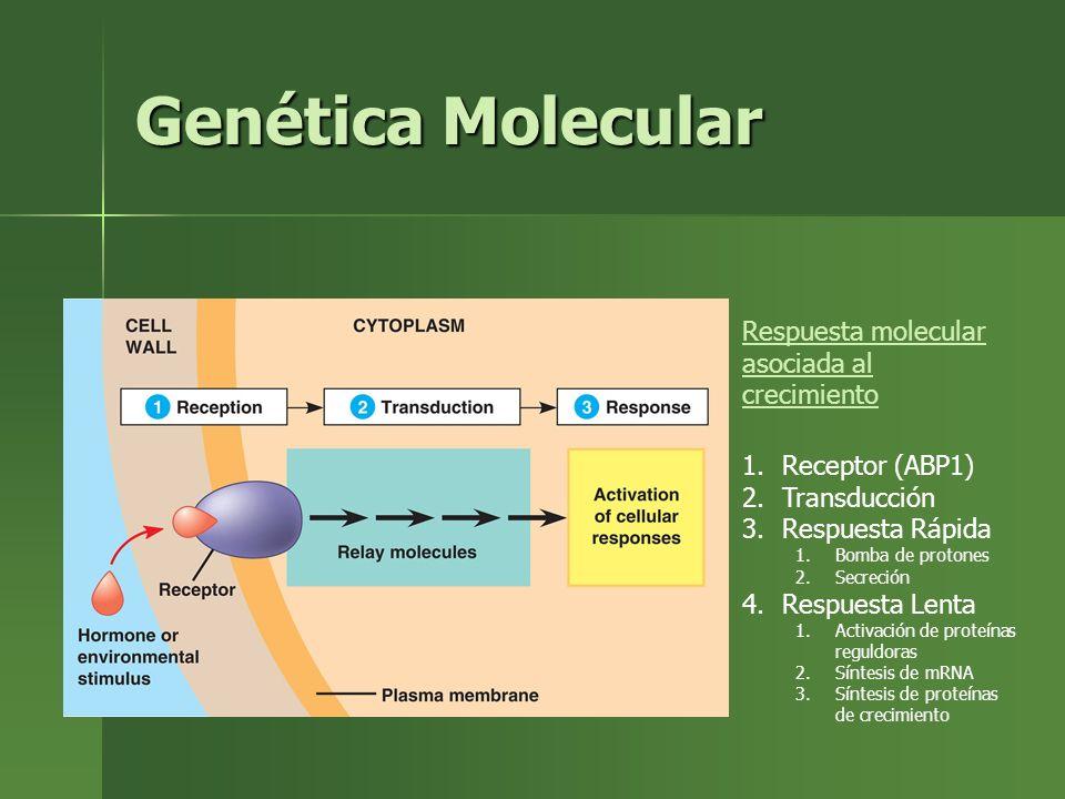 Genética Molecular Respuesta molecular asociada al crecimiento 1.Receptor (ABP1) 2.Transducción 3.Respuesta Rápida 1.Bomba de protones 2.Secreción 4.R
