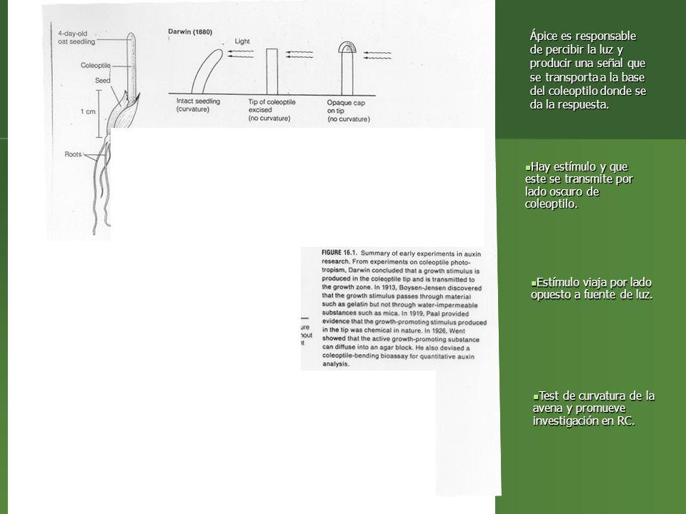 Ápice es responsable de percibir la luz y producir una señal que se transporta a la base del coleoptilo donde se da la respuesta. Hay estímulo y que e