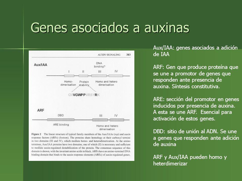 Genes asociados a auxinas Aux/IAA: genes asociados a adición de IAA ARF: Gen que produce proteína que se une a promotor de genes que responden ante pr