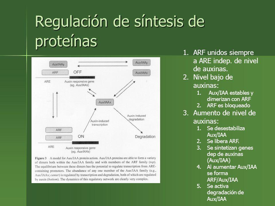 Regulación de síntesis de proteínas 1.ARF unidos siempre a ARE indep. de nivel de auxinas. 2.Nivel bajo de auxinas: 1. Aux/IAA estables y dimerizan co