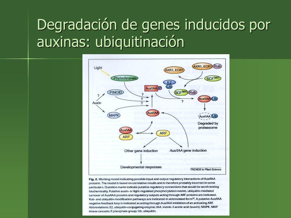 Degradación de genes inducidos por auxinas: ubiquitinación