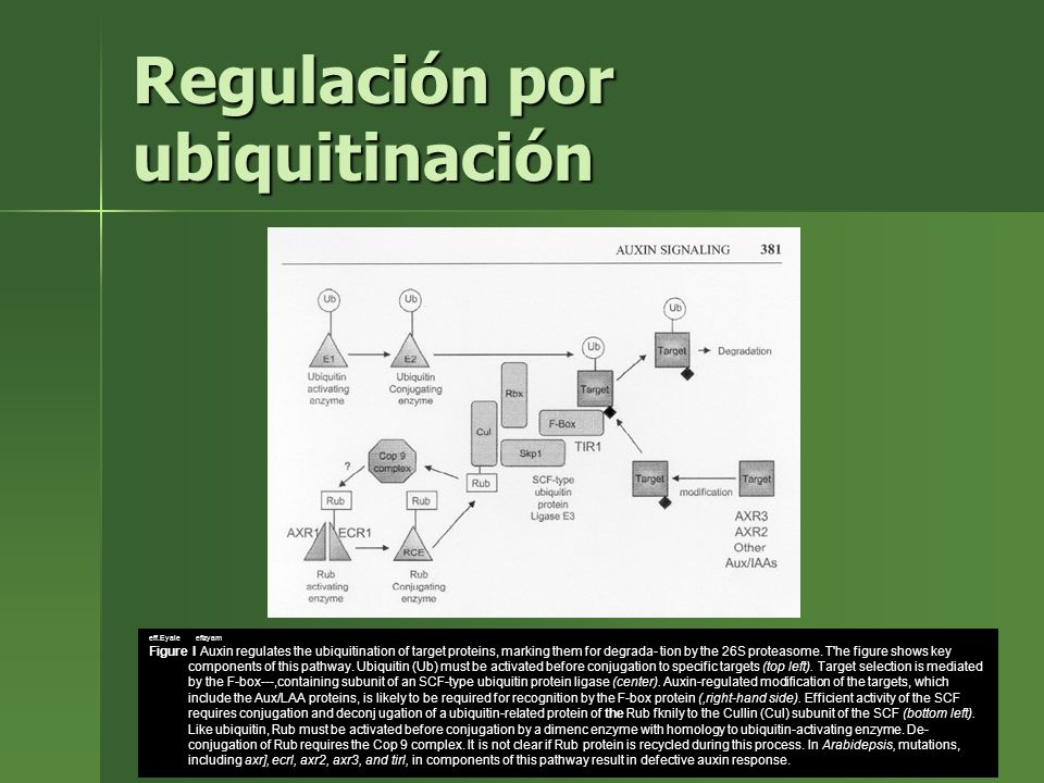 Regulación por ubiquitinación eff.Eyale efizyam Figure I Auxin regulates the ubiquitination of target proteins, marking them for degrada- tion by the