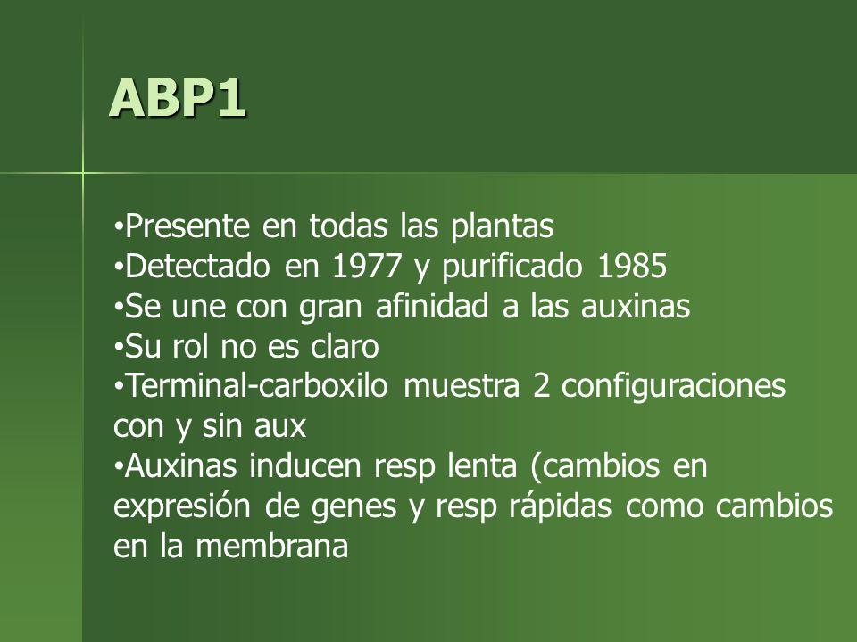 ABP1 Presente en todas las plantas Detectado en 1977 y purificado 1985 Se une con gran afinidad a las auxinas Su rol no es claro Terminal-carboxilo mu