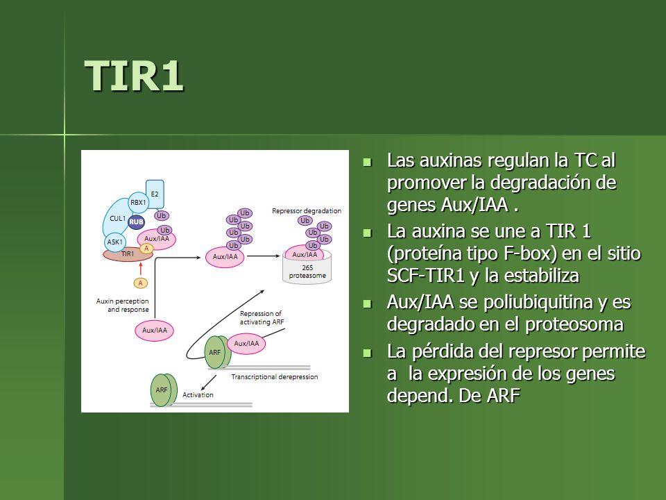 TIR1 Las auxinas regulan la TC al promover la degradación de genes Aux/IAA. Las auxinas regulan la TC al promover la degradación de genes Aux/IAA. La