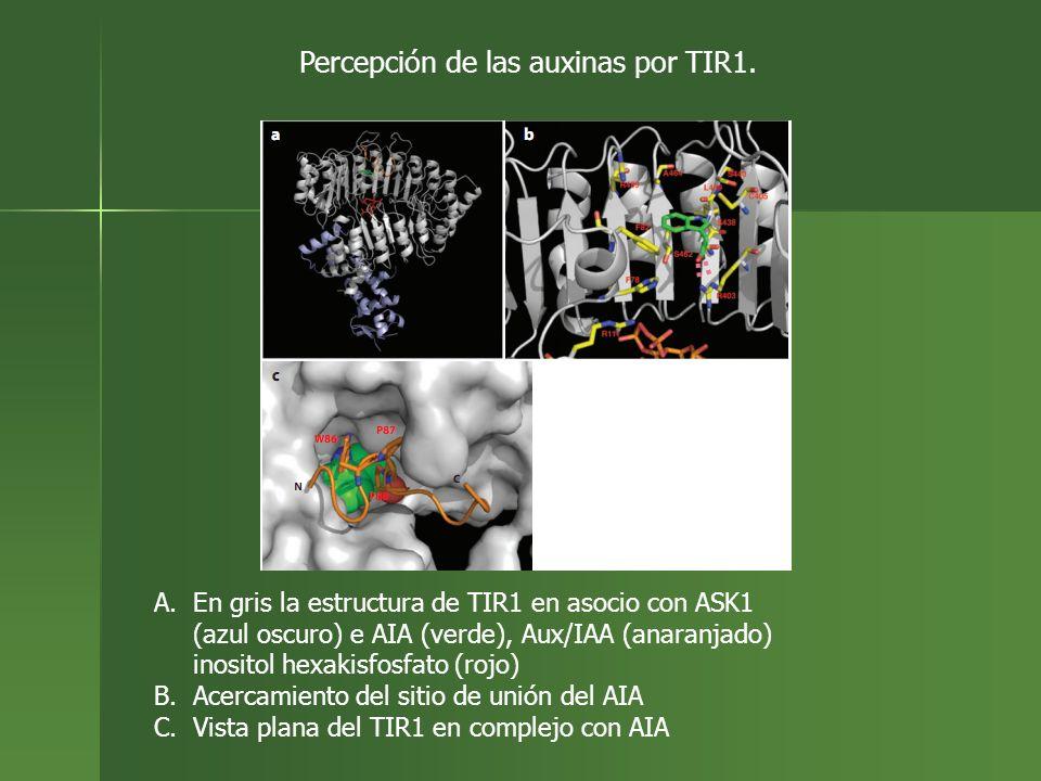 A.En gris la estructura de TIR1 en asocio con ASK1 (azul oscuro) e AIA (verde), Aux/IAA (anaranjado) inositol hexakisfosfato (rojo) B.Acercamiento del