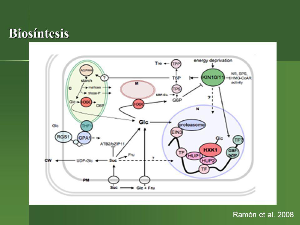 Conclusiones Los azúcares complementan e interactúan con una variedad de hormonas y factores de crecimiento en el señalamiento de mecanismos que modulan el metabolismo y el crecimiento en sentidos complejos Los azúcares complementan e interactúan con una variedad de hormonas y factores de crecimiento en el señalamiento de mecanismos que modulan el metabolismo y el crecimiento en sentidos complejos Fuente de energía de las células Fuente de energía de las células Relación fuente-sumidero Relación fuente-sumidero Protección de la planta Protección de la planta