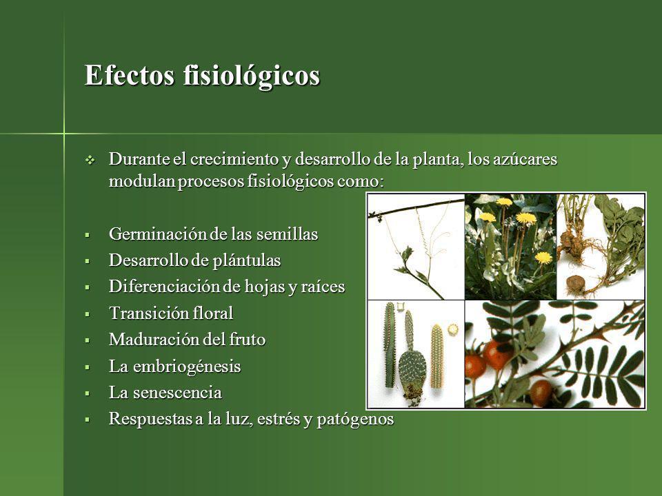 Efectos fisiológicos Durante el crecimiento y desarrollo de la planta, los azúcares modulan procesos fisiológicos como: Durante el crecimiento y desar