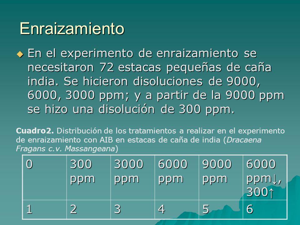 Enraizamiento En el experimento de enraizamiento se necesitaron 72 estacas pequeñas de caña india. Se hicieron disoluciones de 9000, 6000, 3000 ppm; y
