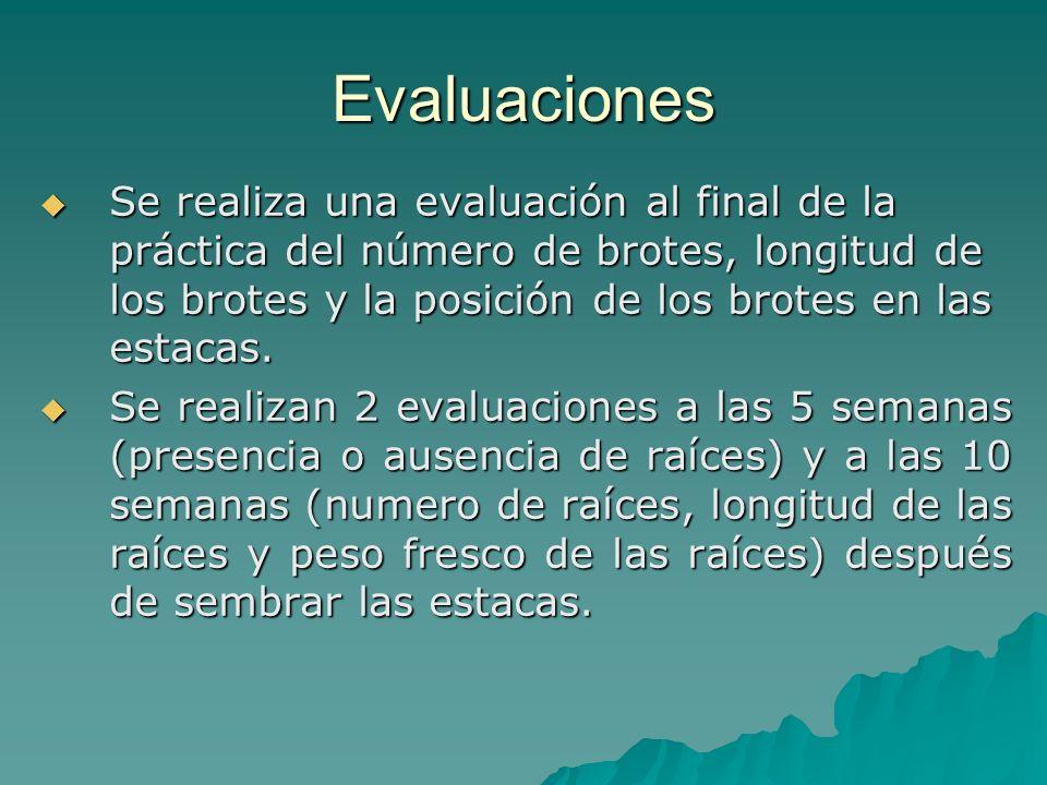 Evaluaciones Se realiza una evaluación al final de la práctica del número de brotes, longitud de los brotes y la posición de los brotes en las estacas