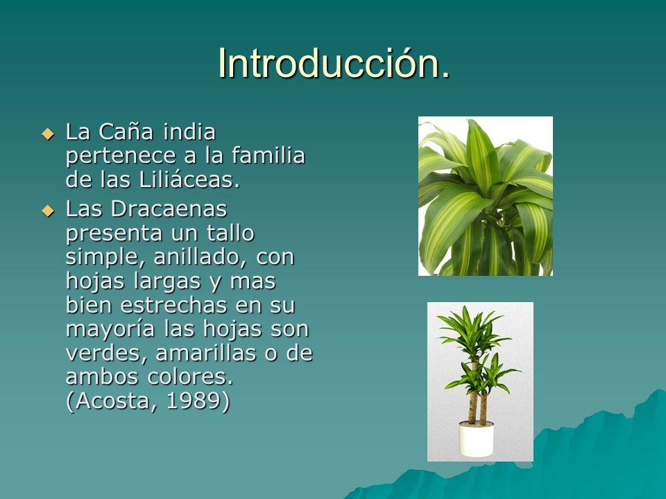 Introducción. La Caña india pertenece a la familia de las Liliáceas. La Caña india pertenece a la familia de las Liliáceas. Las Dracaenas presenta un