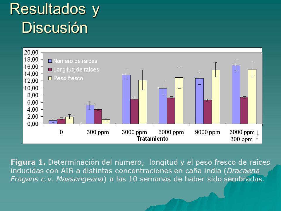 Figura 1. Determinación del numero, longitud y el peso fresco de raíces inducidas con AIB a distintas concentraciones en caña india (Dracaena Fragans