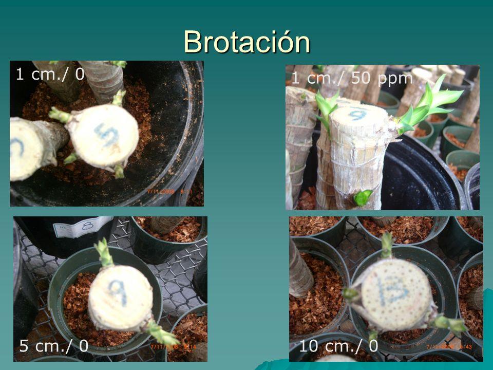 Brotación 1 cm./ 0 1 cm./ 50 ppm 10 cm./ 05 cm./ 0