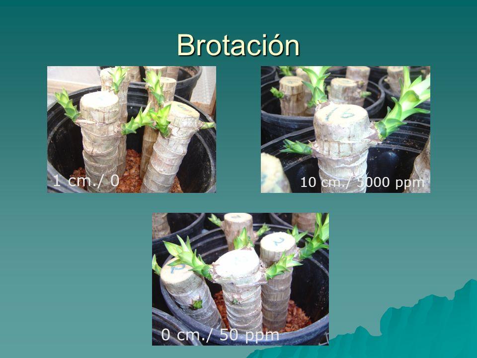 Brotación 1 cm./ 0 10 cm./ 5000 ppm 0 cm./ 50 ppm