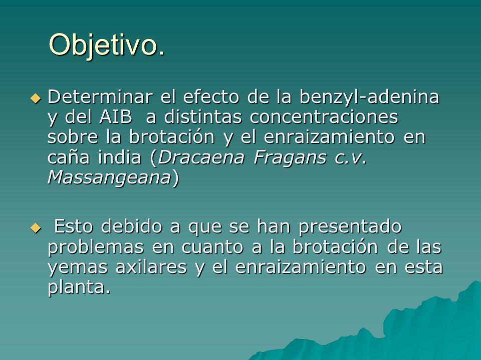 Objetivo. Determinar el efecto de la benzyl-adenina y del AIB a distintas concentraciones sobre la brotación y el enraizamiento en caña india (Dracaen