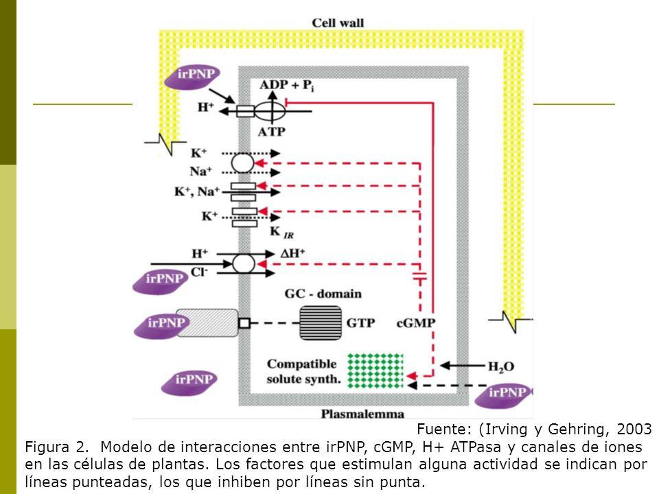 Fuente: (Irving y Gehring, 2003 Figura 2. Modelo de interacciones entre irPNP, cGMP, H+ ATPasa y canales de iones en las células de plantas. Los facto