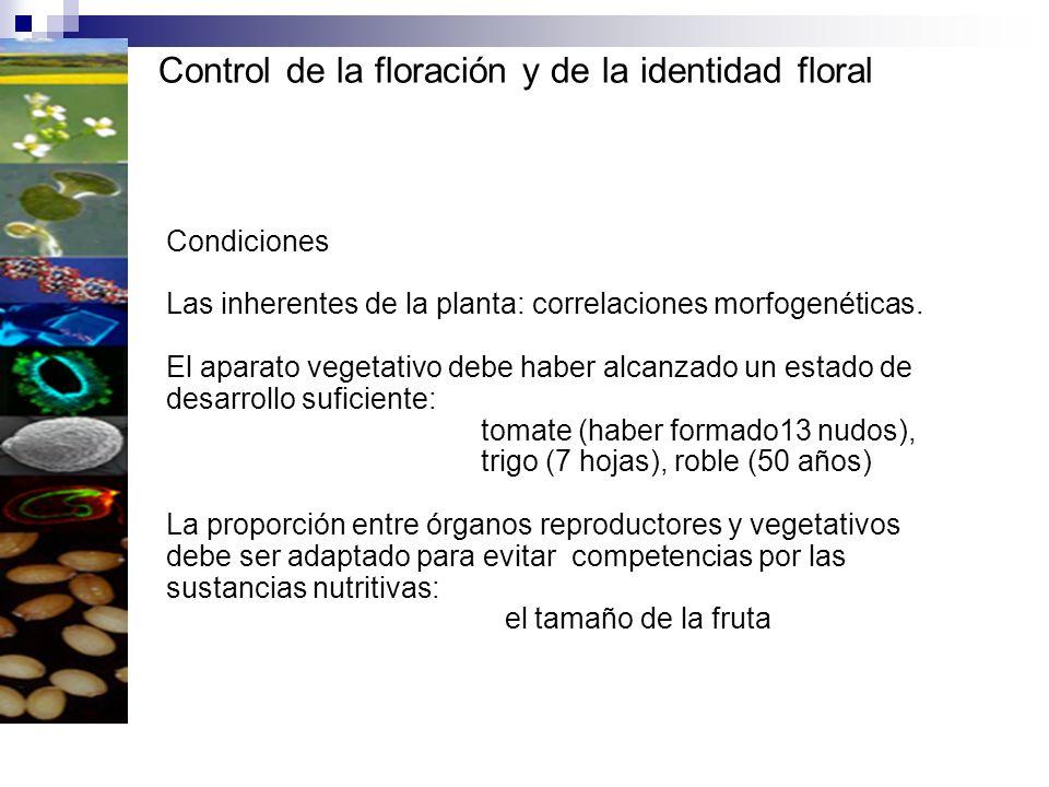 Control de la floración y de la identidad floral Condiciones Las inherentes de la planta: correlaciones morfogenéticas. El aparato vegetativo debe hab