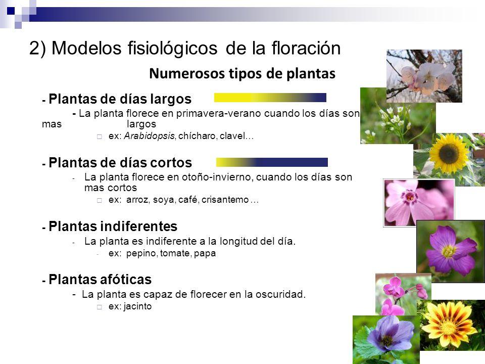 2) Modelos fisiológicos de la floración - Plantas de días largos - La planta florece en primavera-verano cuando los días son mas largos ex: Arabidopsi