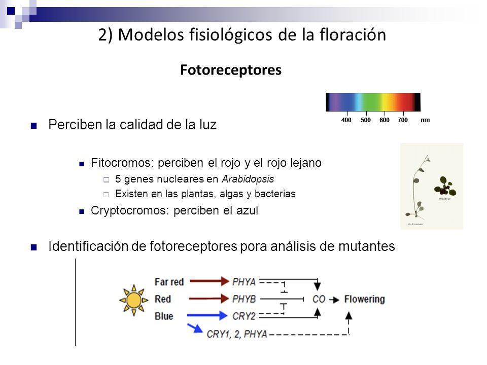 Perciben la calidad de la luz Fitocromos: perciben el rojo y el rojo lejano 5 genes nucleares en Arabidopsis Existen en las plantas, algas y bacterias