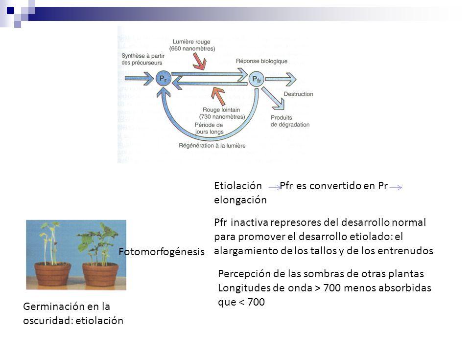 Etiolación Pfr es convertido en Pr elongación Pfr inactiva represores del desarrollo normal para promover el desarrollo etiolado: el alargamiento de l