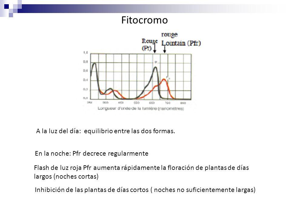 Fitocromo A la luz del día: equilibrio entre las dos formas. En la noche: Pfr decrece regularmente Flash de luz roja Pfr aumenta rápidamente la florac