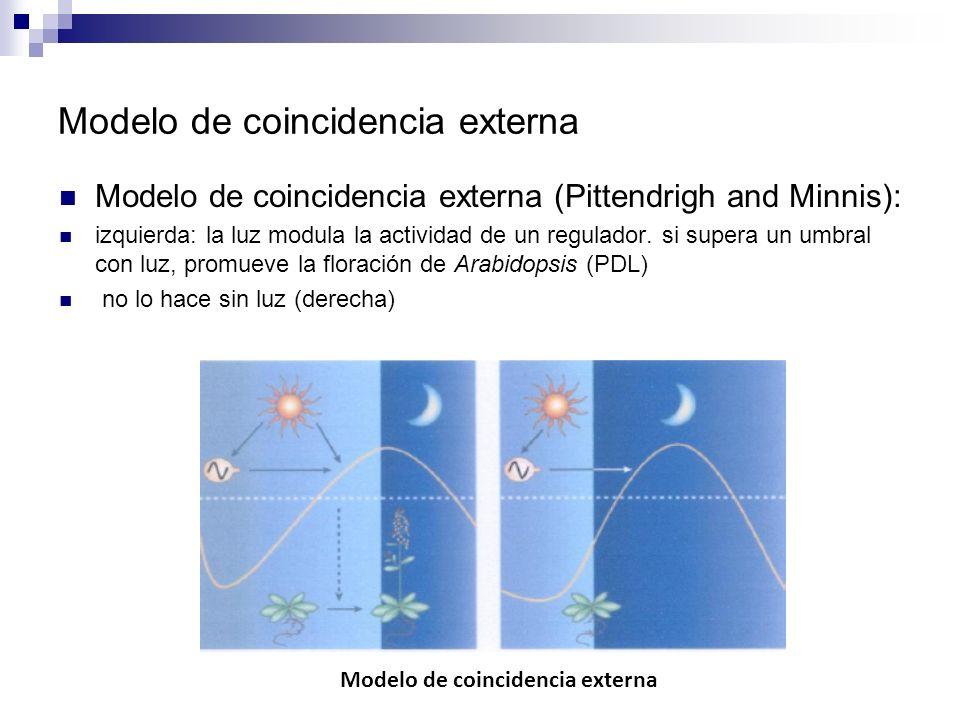 Modelo de coincidencia externa Modelo de coincidencia externa (Pittendrigh and Minnis): izquierda: la luz modula la actividad de un regulador. si supe