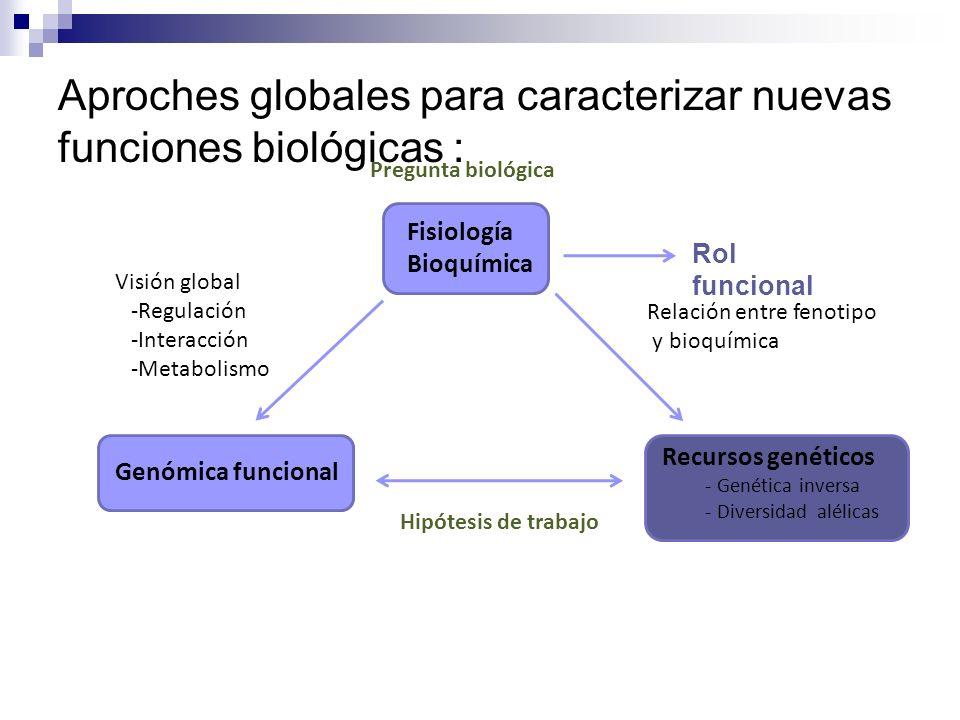 Pregunta biológica Fisiología Bioquímica Rol funcional Genómica funcional Recursos genéticos - Genética inversa - Diversidad alélicas Visión global -R