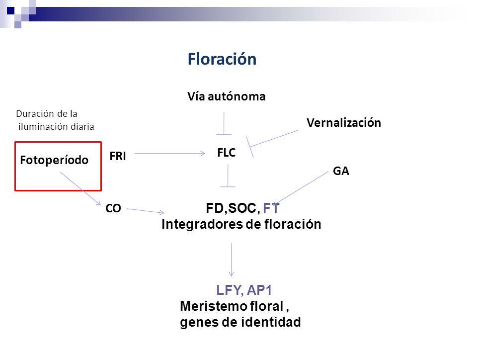 Floración Vía autónoma Vernalización GA FRI FLC FD,SOC, FT Integradores de floración LFY, AP1 Meristemo floral, genes de identidad CO Fotoperíodo Dura