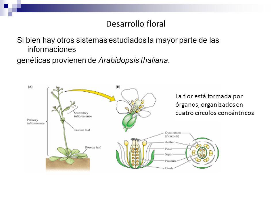Si bien hay otros sistemas estudiados la mayor parte de las informaciones genéticas provienen de Arabidopsis thaliana. Desarrollo floral La La flor es