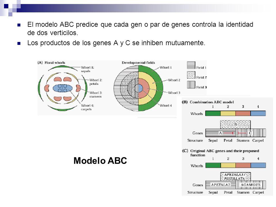 El modelo ABC predice que cada gen o par de genes controla la identidad de dos verticilos. Los productos de los genes A y C se inhiben mutuamente. Mod
