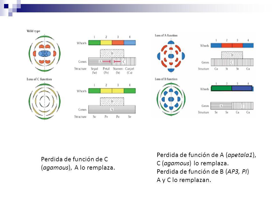 Perdida de función de C (agamous), A lo remplaza. Perdida de función de A (apetala1), C (agamous) lo remplaza. Perdida de función de B (AP3, PI) A y C