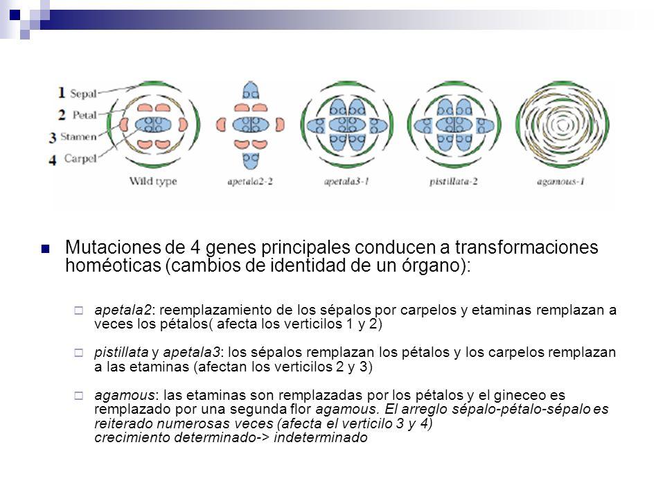 Mutaciones de 4 genes principales conducen a transformaciones homéoticas (cambios de identidad de un órgano): apetala2: reemplazamiento de los sépalos