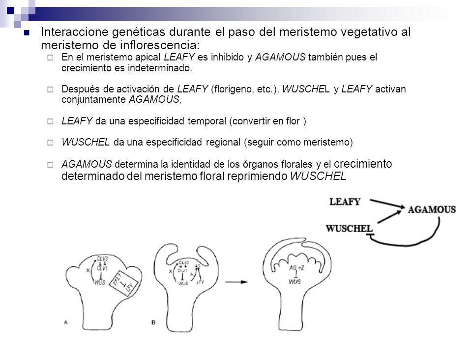 Interaccione genéticas durante el paso del meristemo vegetativo al meristemo de inflorescencia: En el meristemo apical LEAFY es inhibido y AGAMOUS tam