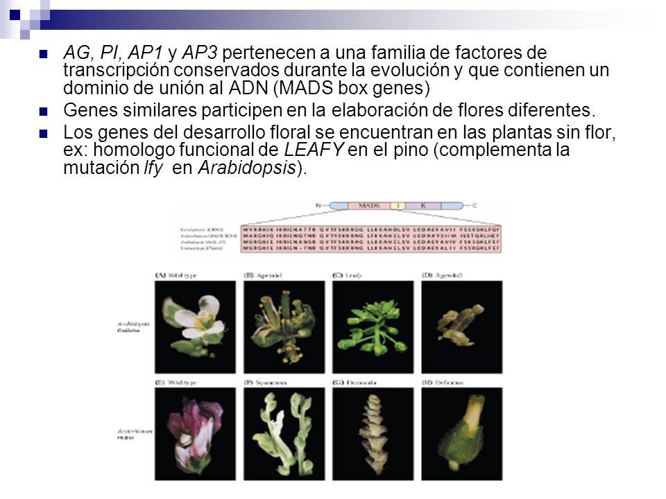 AG, PI, AP1 y AP3 pertenecen a una familia de factores de transcripción conservados durante la evolución y que contienen un dominio de unión al ADN (M