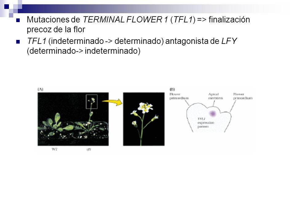 Mutaciones de TERMINAL FLOWER 1 (TFL1) => finalización precoz de la flor TFL1 (indeterminado -> determinado) antagonista de LFY (determinado-> indeter